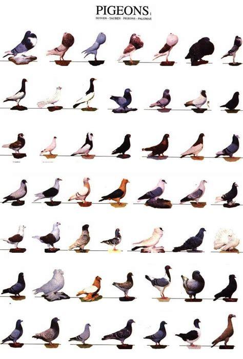 pigeon king csinvesting