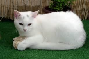 white cat breeds list of white cat breeds with pictures pets world