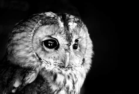 Black Owl Wallpapers by Owl Hd Wallpaper Background Image 2560x1741 Id
