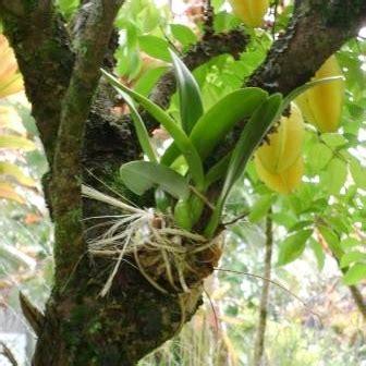 anggrek horteens dunia tanaman hias