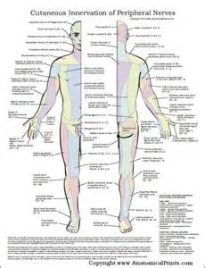 Peripheral Nerve Distribution Chart