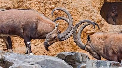 Fighting Male Ibexes Wallpoper