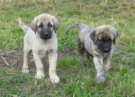 anatolian shepherd dog puppies breed kangal puppy turkish shepherds breeds guard dogs info shepard weeks temperament grown brindle information mountain