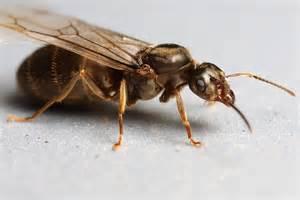 Flying Queen Ant
