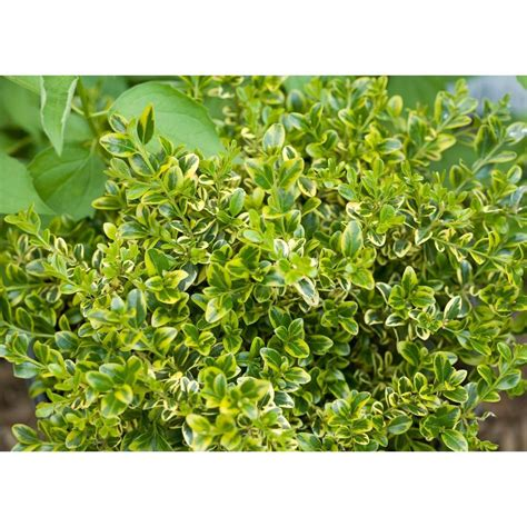 green shrubs proven winners 1 gal wedding ring boxwood buxus live evergreen shrub variegated green