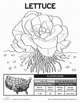 Lettuce Planting Worksheet Education Plants Science Coloring Plant Pages Sheet Worksheets Grade Peas Growing 1st sketch template