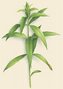Verveine Plante Tisane : verveine odorante ~ Mglfilm.com Idées de Décoration