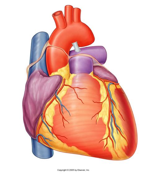 pictures heart anatomy  labels anatomy  physiology