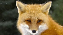 The Red Fox: A Rare Look Into The Life of One of the Most ...