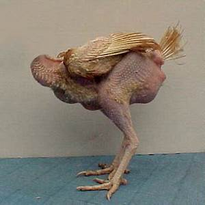 Kfc Chickens Without Heads | www.pixshark.com - Images ...