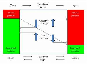 Alteration Of Proteins By Oxidative Damage And Their