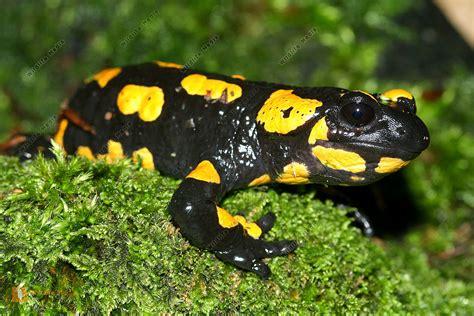 feuersalamander wildlife media die naturbildagentur