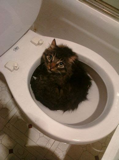 how to toilet a cat cat in a toilet surviving the era