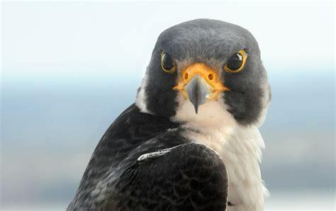peregrine falcon webcam renews baltimores connection