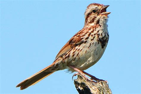 different types of birds that sing types of bird noises and sounds