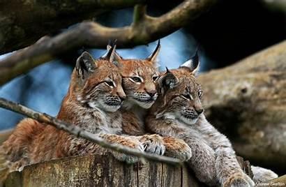 Wild Cat Wallpapers Wildcat Wiki Wallpapertag