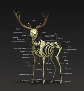 Related Keywords & Suggestions for deer skeleton