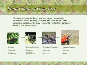 Gray fox bio period 4 Micah Tennant