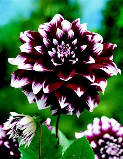 grow dahlia how to plant and grow dahlias the garden of eaden