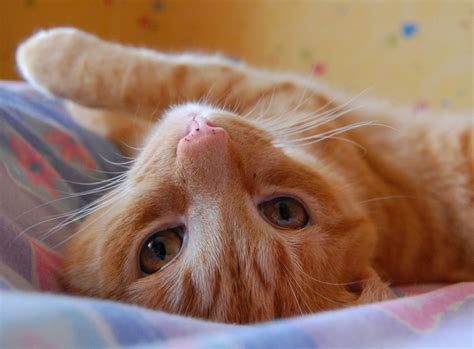 cat ginger why cute cats heart reasons there logical melt few does things freeimages