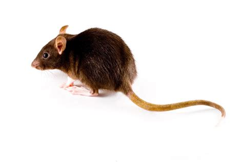 mice vs rats what is the difference between a rat and a mouse rentokil