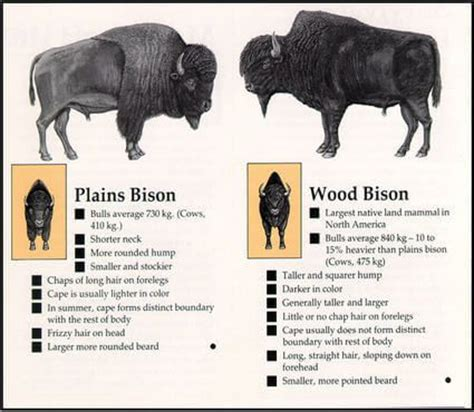 wood bison vs plains bison to the woods woods buffalo and american bison