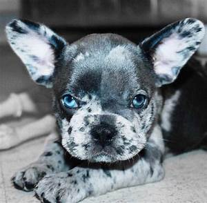 Spotted gray, black, and white French Bulldog puppy ...