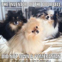 pomchi pomeranian chihuahua mix dog property laws  shirt