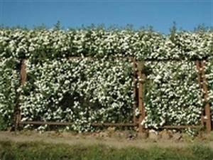 Blühende Hecken Sträucher : liguster so pflanzen und schneiden sie die hecke richtig ~ Watch28wear.com Haus und Dekorationen