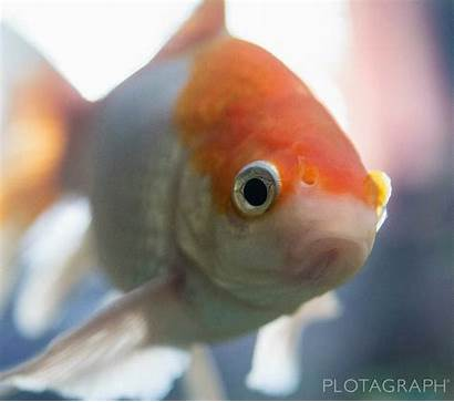 Fish Gold Score Cinemagraph Res Hi Pxleyes
