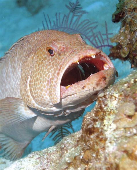 grouper tiger mouth cleaning station teeth open clean thou species