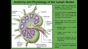 Anatomy  U0026 Physiology Of Lymph Nodes