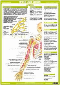 Upper Limb Nerve Chart