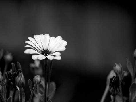 Black And White Flower Backgrounds 5 Free Hd Wallpaper