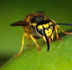 Was Tun Gegen Wespen Im Kirschlorbeer : insekten warum wespen jetzt besonders aggressiv sind welt ~ Lizthompson.info Haus und Dekorationen