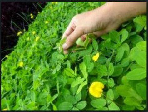 khasiat  manfaat akar  daun landep tanaman