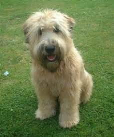 why is my wheaten terrier shedding types of goldendoodle haircuts search