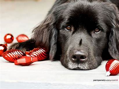 Christmas Newfoundland Dogs Dog Puppy Bulbs Background