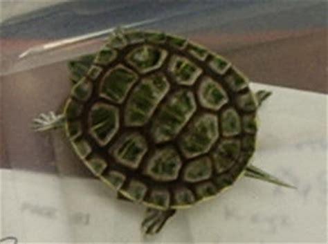 faqs about ear slider turtle behavior