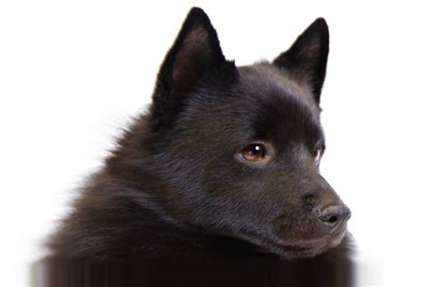 Good Non Shedding Small Dogs by Schipperke Dog Breed Information American Kennel Club