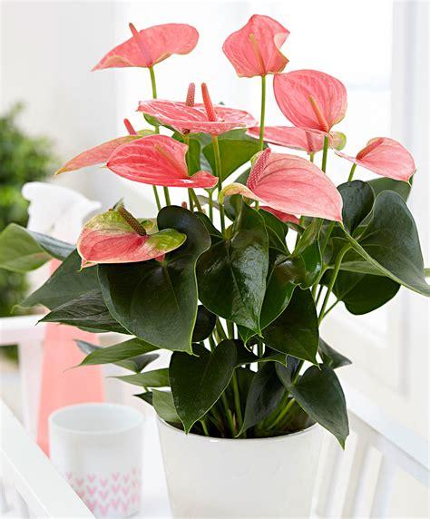 kamerplant met rose bloemen koop nu kamerplant anthurium roze bakker