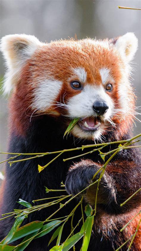 Wallpaper Red Panda Bamboo Cute Animal Leaves