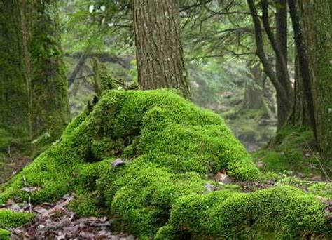 Images Of Moss Gallery Images Of Mosses