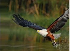 African Fish Eagle Haliaeetus Vocifer It Is The National