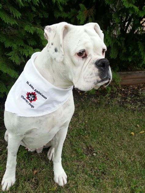 9 best images of partner service dogs does your boxer what it takes the