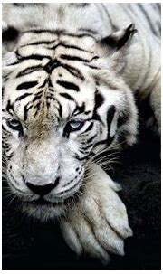 big Cats, Nature, Animals, Tiger, White Tigers Wallpapers ...