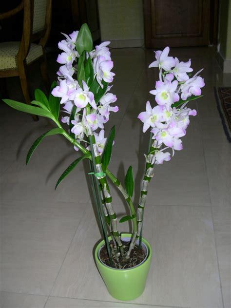 orchideen pflegen und reiche schoene blueten zu hause bewundern
