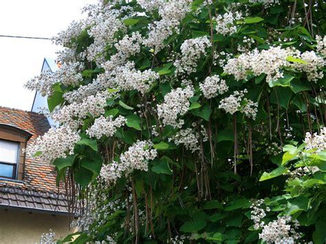 catalpa baum schneiden trompetenbaum catalpa bignonioides baumschule horstmann