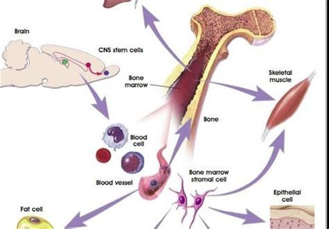 scientists develop artificial bone marrow science news