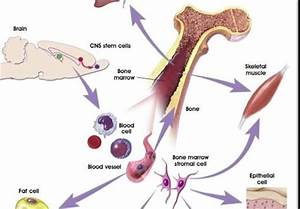 Scientists Develop Artificial Bone Marrow
